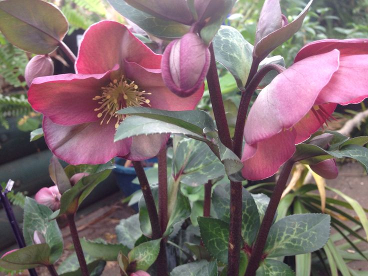 My hellebore. I just love it.