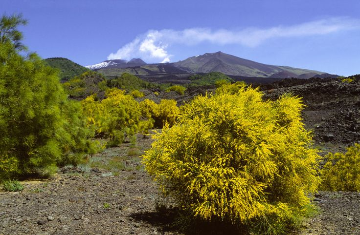 Ginestra aetnensis (Genista aetnensis)  - endemic plant on Etna grows up to 3 m. The early 20th century was planted on Vesuvius, where it grows more kinds Ginestra (Genista).