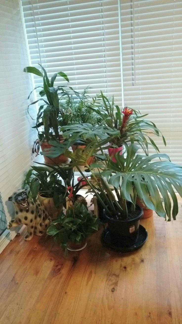 Indoor Plants. Monstera Delociosa