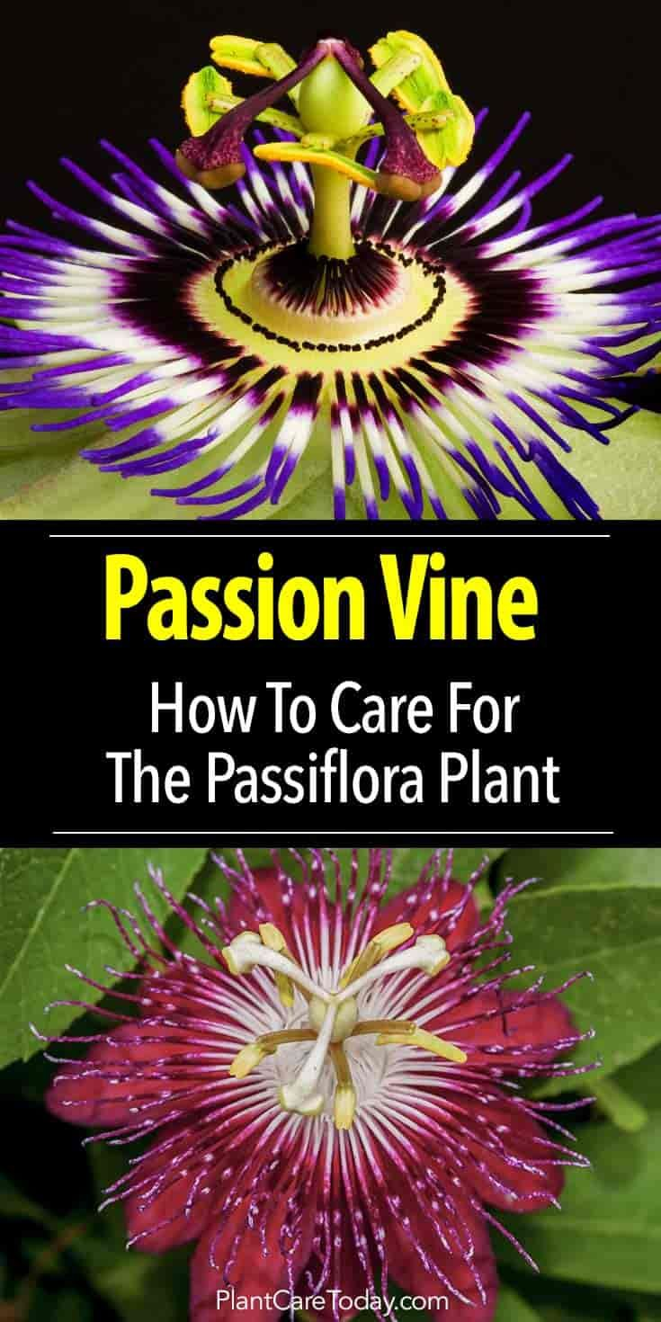 Passion Flower Vine Growing The Passiflora Plant Passion Flower Plant Passion Flower Passion Vine