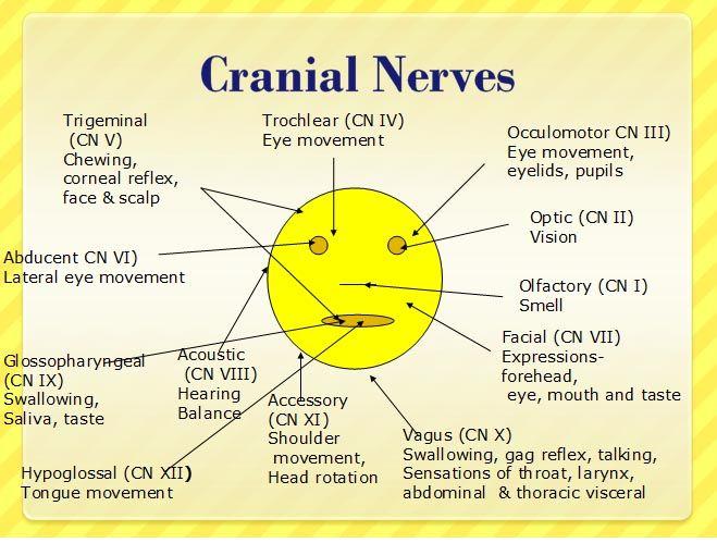 Mnemonics for Cranial Nerves | ... ://www.nursereview.org/2008/09/12-cranial-nerves-anatomy-diagram.html