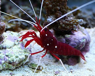 Blood Red Fire Shrimp Recently Got One And They Are Very Cool Nano Reef Tank Pinterest Marine Fish R