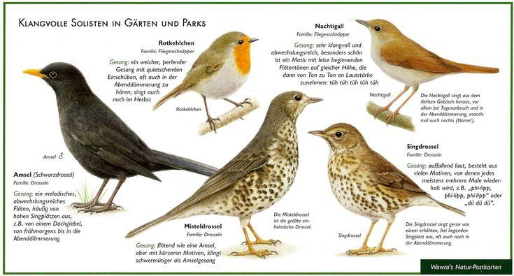 Singvögel-Amsel, Drossel, Nachtigall