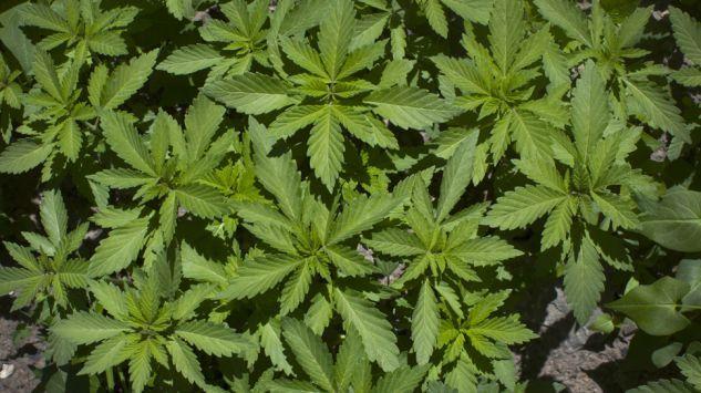 Lekarze i pacjenci chcą medycznej marihuany. Apelują w Sejmie (tvp.info)