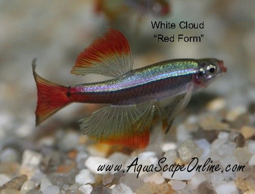 The Meteor Minnow, a long-finned variant of the White Cloud Mountain Minnow.  Feed it color foods to maintain the reddish fins!