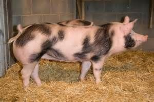 pietrain pig - Bing Images