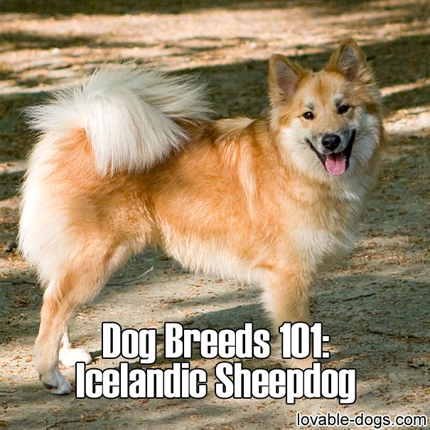 Dog Breeds 101 – Icelandic Sheepdog►►http://lovable-dogs.com/dog-breeds-101-icelandic-sheepdog/?i=p