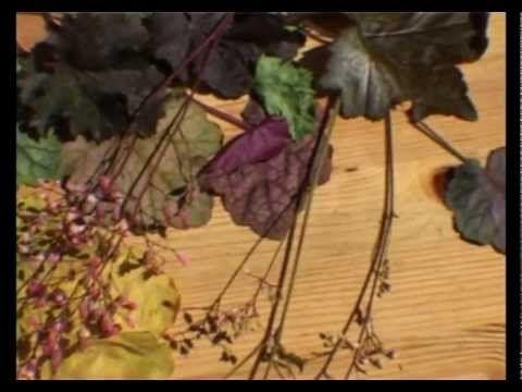 Сад и огород. Гейхеры,гейхереллы, тиареллы