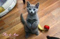 Русские голубые кошки - Минск, Беларусь
