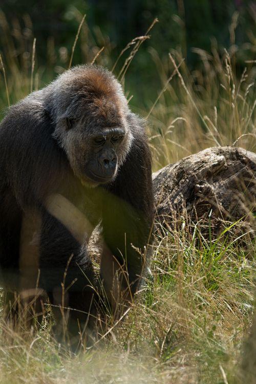 Western lowland gorilla (Gorilla gorilla gorilla) London Zoo