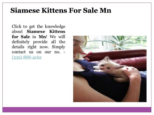 Applehead Siamese Kittens For Sale In 2020 Siamese Kittens Kittens Kitten For Sale