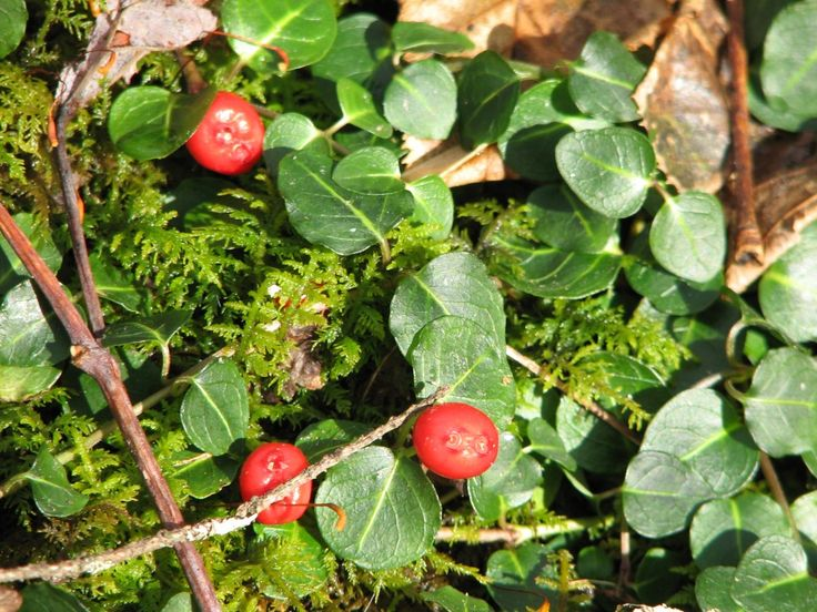 Partridgeberry Botany and Identification | Blog Castanea
