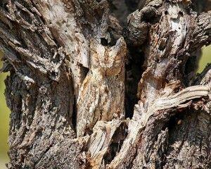 Kamuflase Menakjubkan Ala Burung Hantu