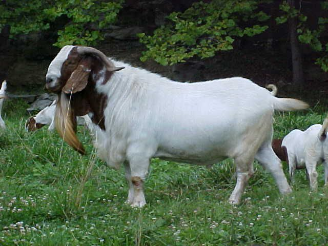 goats | ... boer goats i operate a small herd of quality full blood boer goats