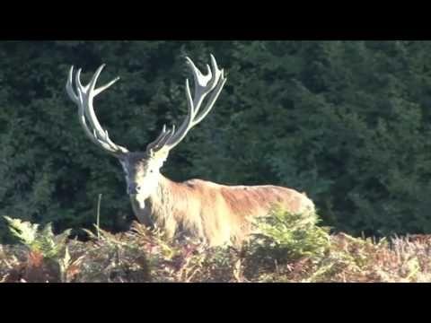 #Охота на #оленя в Беловежской пуще. Осень - YouTube
