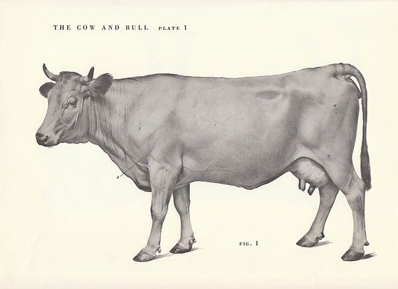 cow side view coloring pages - photo#27