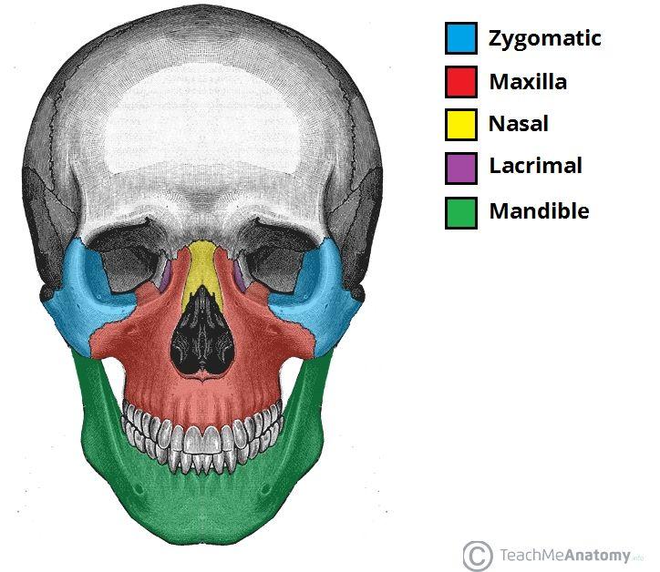 Facial bones below the hairline