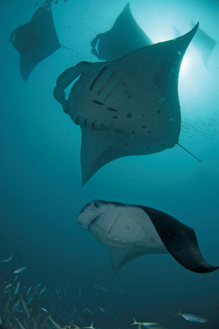 Manta ray swimming underwater with its dorsal fins spread open viewed - Sea Dwellers Take Flight At Hanifaru Bay Join The Manta On Call