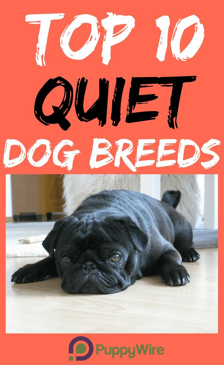 Top 10 Small Quiet Dog Breeds Perfect For Apartments Quiet Dog Breeds Dog Breeds Dog Breed Info