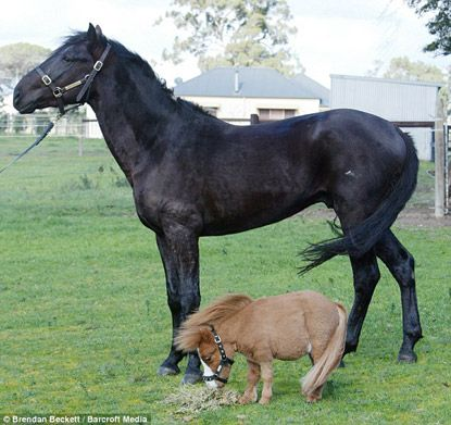 Dwarf Miniature Horses for Sale | Click for a bigger image, or see more pics here .