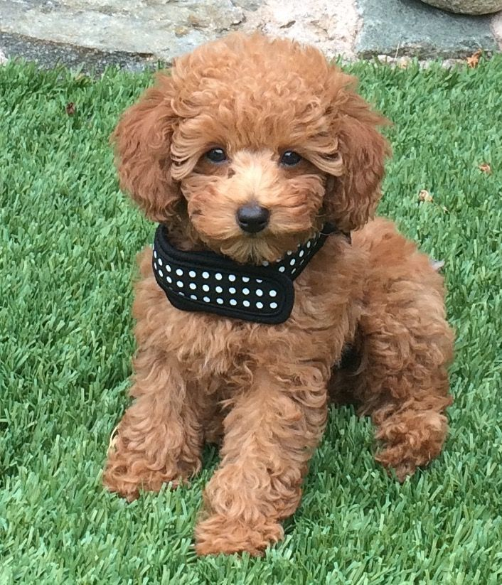 Red Toy Poodle Toy Poodle Small Poodle Poodle