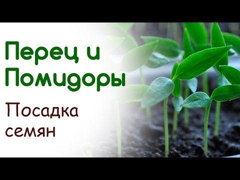 Посев томата и перца. Посадка семян - YouTube