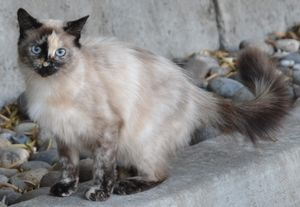 Tiny Dancer - Pleasanton, CA is an adoptable Ragdoll Cat in Davis, CA. Tiny Dancer: 6 Month Old Female Tortie Point Ragdoll Mix Courtesy Post Purebreds Plus Cat Rescue is helping facilitate the adopti...