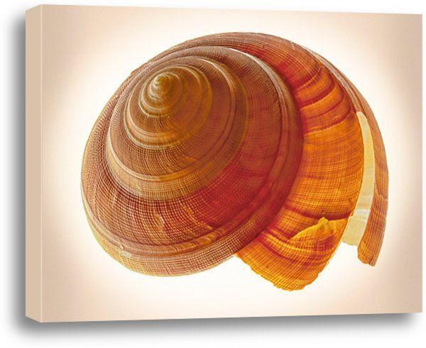 H1093. Bayerotrochus Teramachi. #coastal #beach #beachhouse #wallart #homedecor #beachdecor #shells