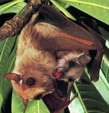 Baby Fruit Bats With Mother | www.pixshark.com - Images ...
