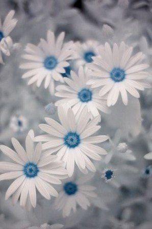 Blue color splash | A splash of Color | White Daisies