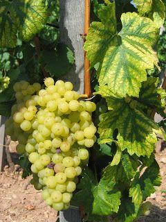 Furmint Grapes, Hungary