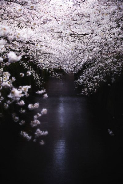 cherry blossoms / Japan//
