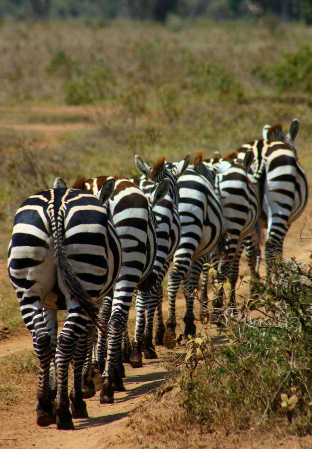 Zebra Convoy, Maasai Mara, Kenya........ If you aren't the lead elephant, the view is always the same......