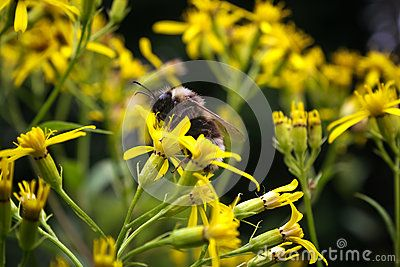 Bumble bee Bombus pascuorum on yellow flower in summer