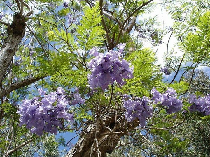 Flowers Jacaranda