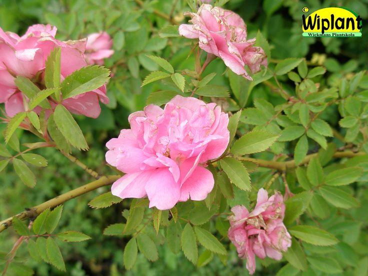 Rosa 'Ilo', Ros. FinE-sort från Peter Joys korsningsprogram 2010. Riklig blomning, får nypon. Ljusröda blommor från midsommar och framåt.  Höjd 1,5-2 m.  Anspråkslös beträffande jordmån. Tät buske med höstfärg.  Zon IV.