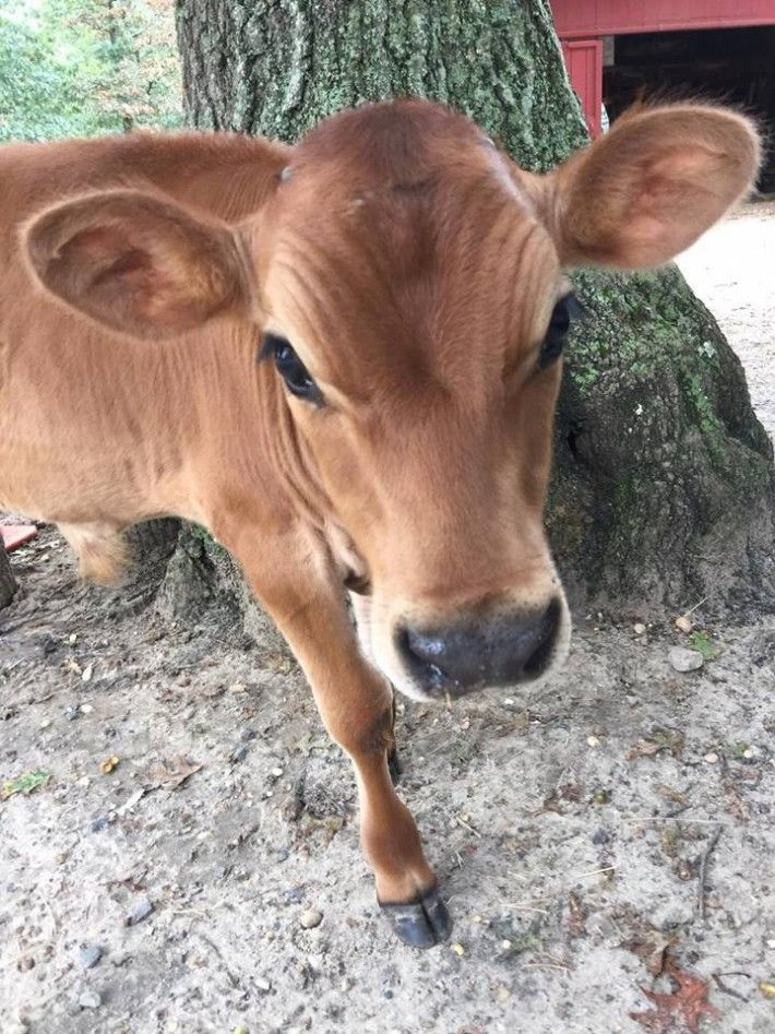 Baby cow saved from slaughter