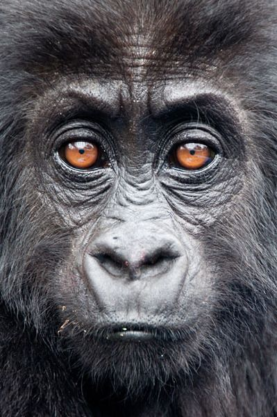 A young mountain gorilla looks into the camera during the Village of Hope project in Rwanda. Picture: Molly Feltner