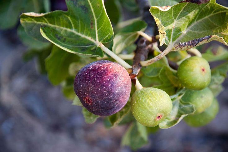 De smukke lilla, bløde figenfrugter sætter sig yderst på grenen væk fra figenbladets skygge
