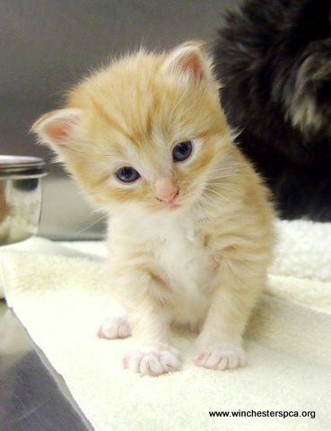 17 best ideas about orange tabby kittens on pinterest - Images de chats trop mignons ...