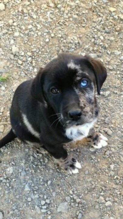 Catahoula Lab Mix Puppies Images & Pictures - Becuo