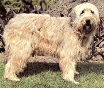 Catalan Sheepdogs range in size from 18 to 20 in (46 to 51 cm) in height and 45 to 60 lb (20 to 27 kg) in weight for males, with females being smaller. Their coat is long and either flat or slightly wavy, and can be from fawn to dark sable and light to dark grey. There is also a shorthaired version of this breed, but is nearly extinct
