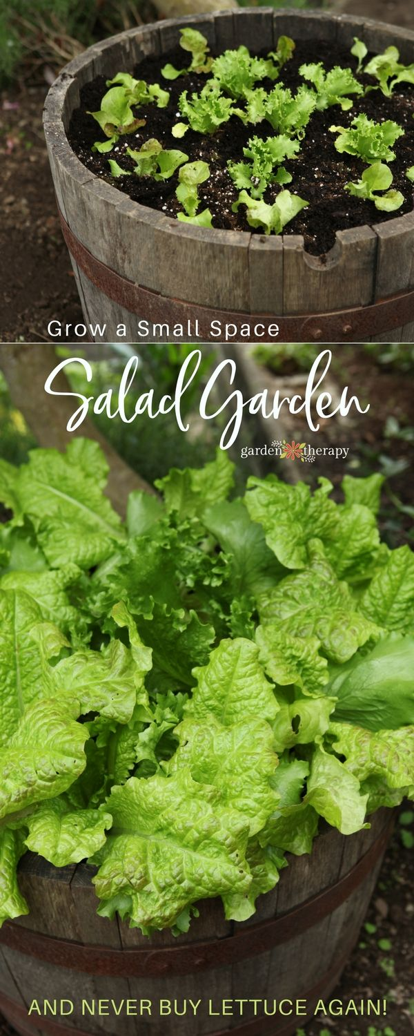 Lettuce growing in a wine barrel produces a high yield in a small space - Growing lettuce in a container keeps it elevated so that pests can't reach it, plus its shallow root system means it thrives in a container environment, so you will have a huge harvest of lettuce without needing a lot of space. #gardentherapy #gardening #containergarden #lettuce #vegetablegarden #smallspace