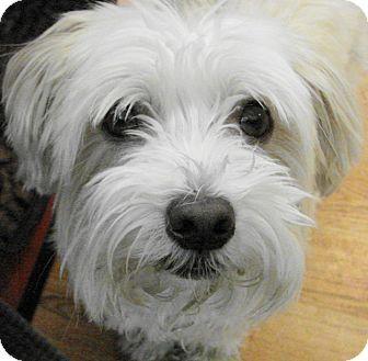 St Louis, MO - Havanese Mix. Meet Capone, a dog for adoption. http://www.adoptapet.com/pet/16281784-st-louis-missouri-havanese-mix