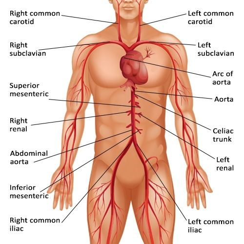 the 25+ best celiac artery ideas on pinterest | upper abdominal, Human Body