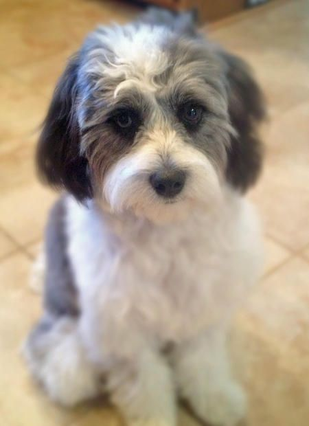 shih tzu mix for sale the 25 best shih tzu poodle mix ideas on pinterest shih 6631