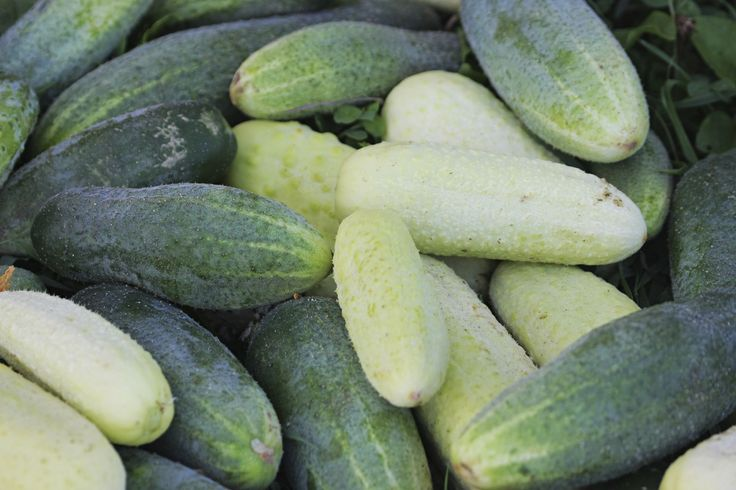 Two cucumber plants, two different varieties. Which do you grow? Head on over to Gardening Know How to learn which cucumber varieties are suitable for your growing needs.