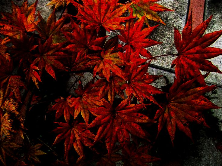 Fall Japanese Maples on The West Coast