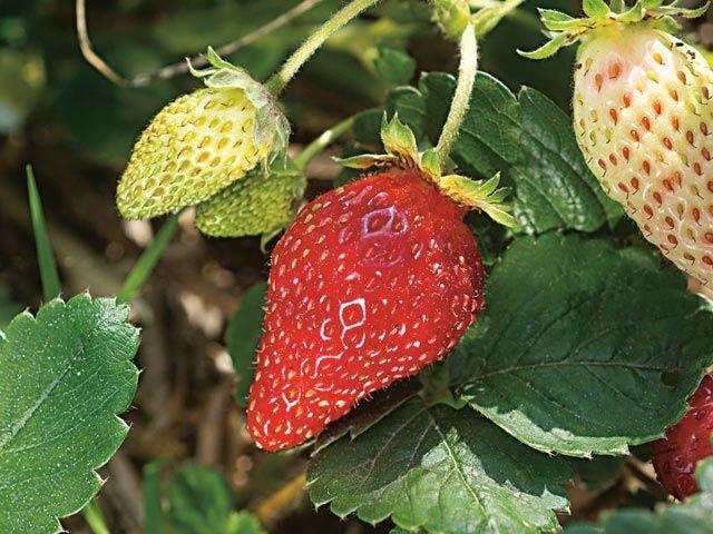 1000 id es sur le th me cultiver des fraises sur pinterest for Conseil de jardinage