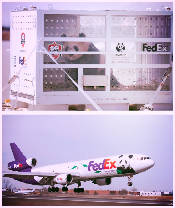 Toronto has two new residents - Er Shun and Da Mao, giant #pandas from China who will be inhabiting the #Toronto Zoo for years to come. Read all about their journey aboard the FedEx Panda Express here!